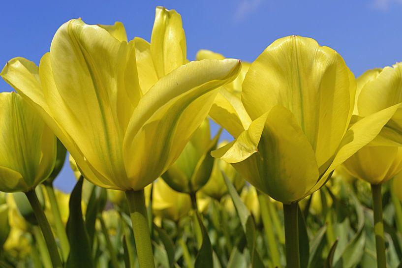 Gele tulpen in de Bollenstreek/Nederland van JTravel