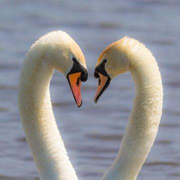 cygnes d'amour sur