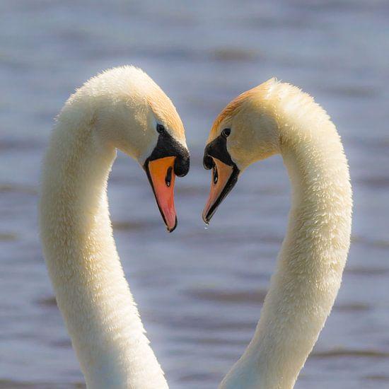 Verliefde  knobbelzwanen