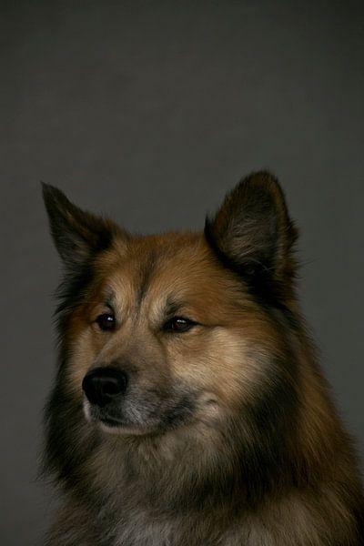 Portret Finse Lappenhond van Jeanine Verbraak
