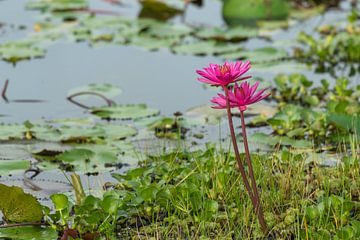 Waterlelies Wasgamuwa Lake van Lex van Doorn