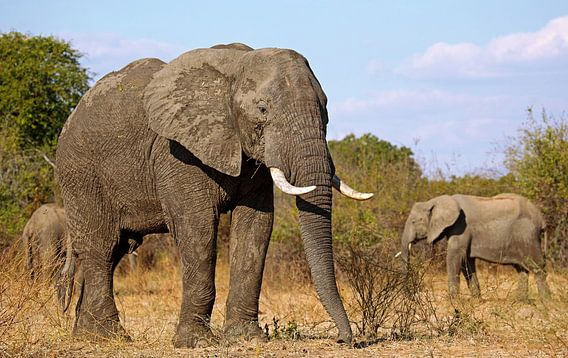 Elephants - Africa wildlife van W. Woyke