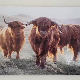 Klantfoto: Schotse Hooglanders van Karel Ton, op aluminium