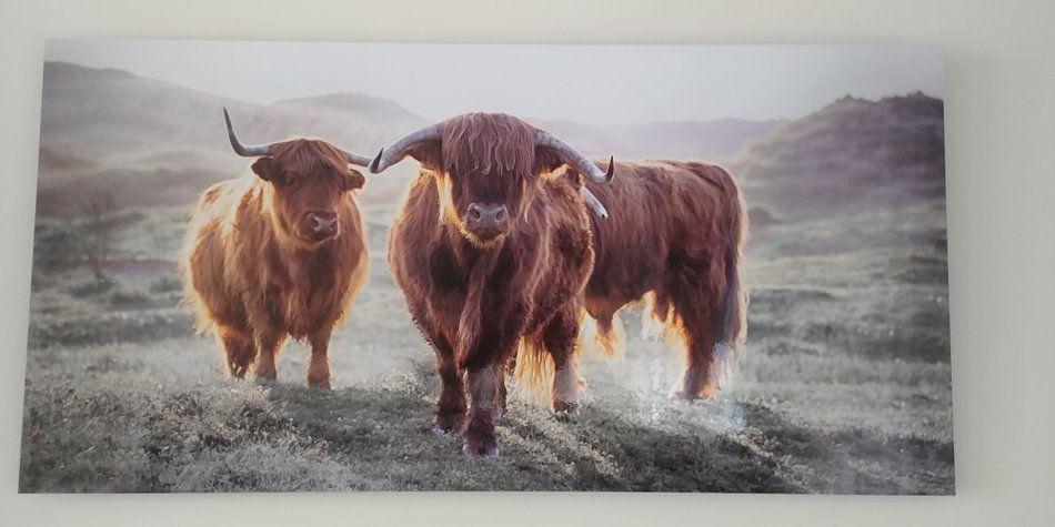 Kundenfoto: schottische Highlanders von Karel Ton