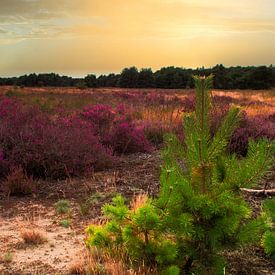 Farbenfrohe Natur mit Heidekraut und Kiefern von JM de Jong-Jansen