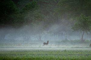 chevreuil dans le brouillard du matin