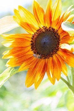 Sonnenblume von Thomas Heitz