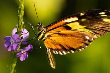 Vlinder van Marcel Mombarg