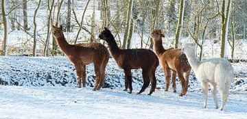 Alpaca's in de sneeuw van Nancy Bogaert