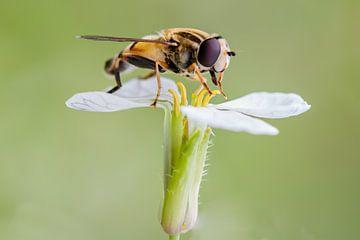 Zweefvlieg op bloem van Evelyne Renske