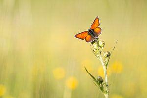 Rode vuurvlinder vangt de laatste zonnestralen
