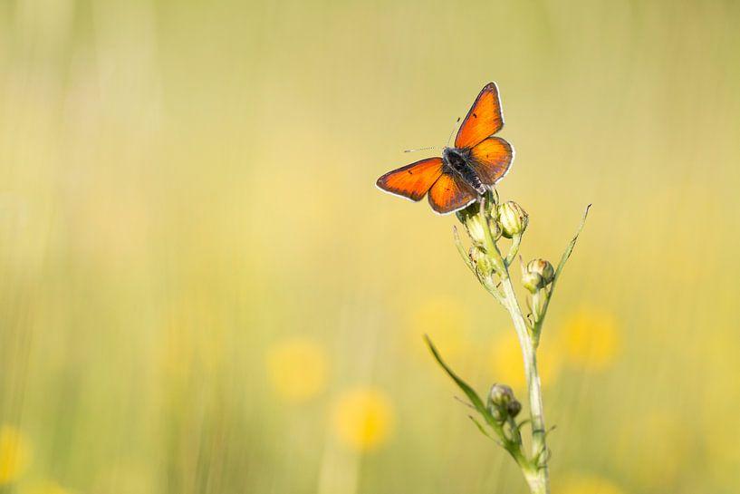 Rode vuurvlinder vangt de laatste zonnestralen van Judith Borremans