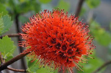 Greyia sutherlandii (Zuid Afrikaanse Bottlebrush) von Peter Mooij