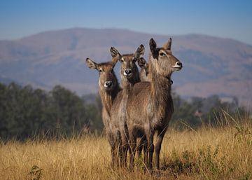 Mlilwane Wildlife Sanctuary - Swaziland sur Jan Plukkel