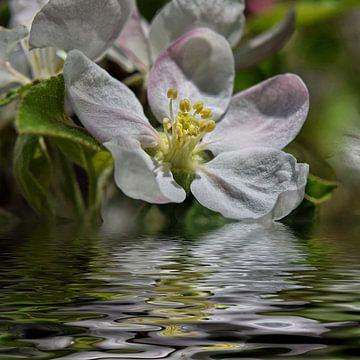 Bloem water - appelbloesem van Christine Nöhmeier