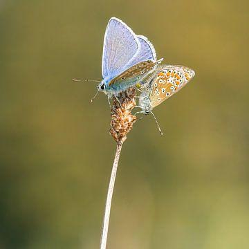 Ikarusblau - Polyommatus icarus von Rob Smit
