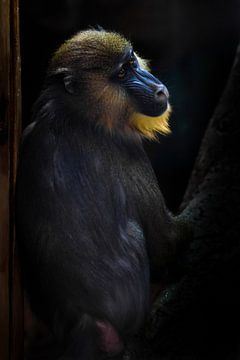 Ein wunderschöner Madrilenenpavian mit hellgelbem Haar und blauer Nase auf dunklem Hintergrund. Das  von Michael Semenov