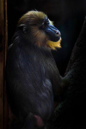 Un beau babouin madrilène aux poils jaunes et au nez bleu sur un fond sombre. L'animal ressemble au