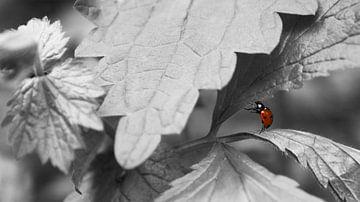 Lieveheersbeestje op blad von Liv Jongman