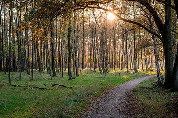Zonsondergang boven jonge berken en bospad