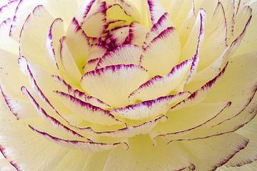 Macro d'une renoncules, écru avec des bords violets sur Anne Ponsen