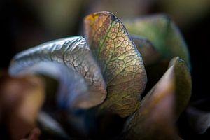 Fragiele bloembladeren van een Hortensia van