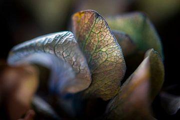 Fragiele bloembladeren van een Hortensia van Jenco van Zalk