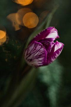 Lila gestreifte Tulpe von Lindy Schenk-Smit
