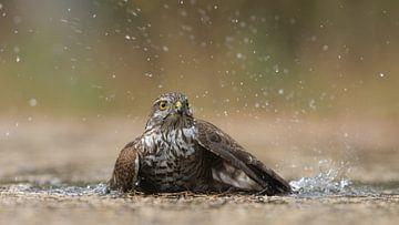 Sperwer vrouwtje neemt een bad