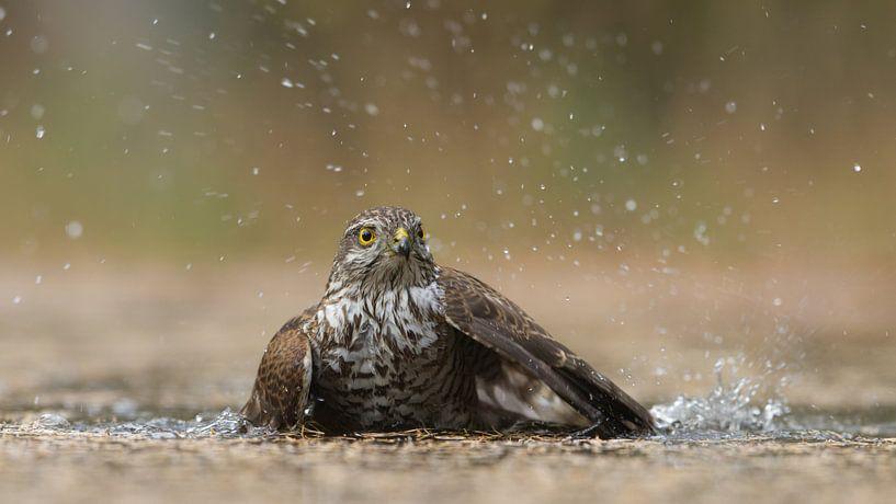 Sperwer vrouwtje neemt een bad van Art Wittingen