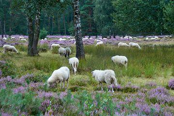 Schafe auf den Mooren von Ad Jekel