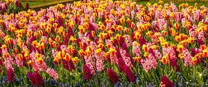 tulpen veld met hyasinten
