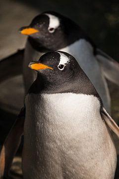 zwei Pinguine kommen. Süßer subantarktischer Pinguin, von der Sonne aus nächster Nähe beleuchtet, he von Michael Semenov