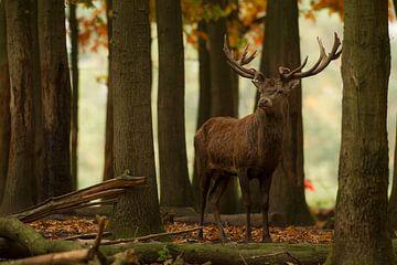 Bronstig Edelhert in boslandschap tijdens de herfst van Jeroen Stel