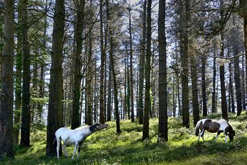 Een flemend paard/ a flehming horse von Harrie Muis