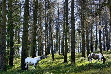 Een flemend paard/ a flehming horse