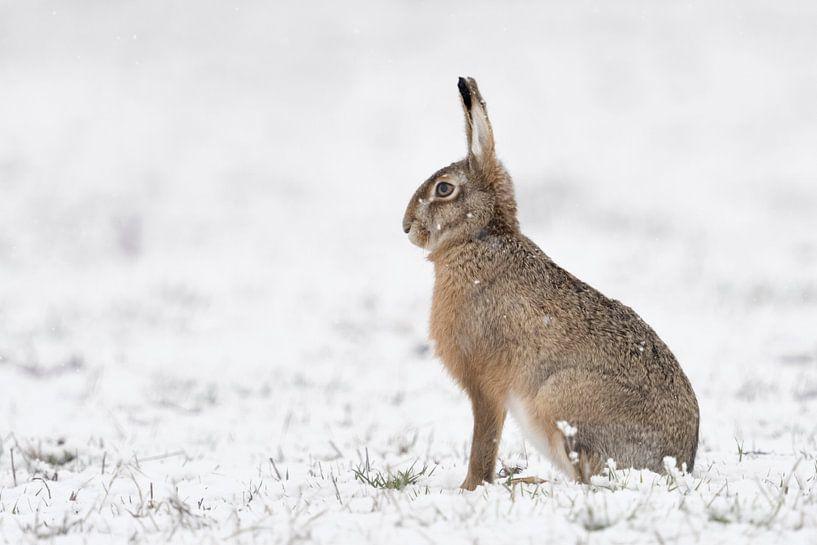 Brown Hare / European Hare ( Lepus europaeus ) in winter, sitting in snow, snowfall, watching attent van wunderbare Erde