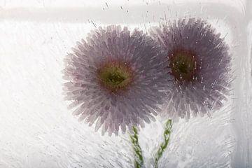 Gänseblümchen in Eis 3 von Marc Heiligenstein