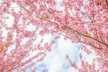 Les cerisiers en fleurs sur Arja Schrijver Fotografie