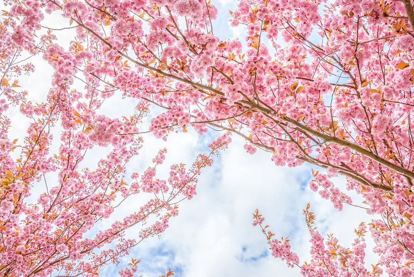 De bloesembomen van Arja Schrijver Fotografie