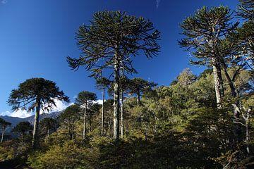 Nationalpark Conguillío mit Araukarienbäumen, Chile von A. Hendriks