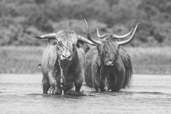 Twee Schotse Hooglander koeien in het water