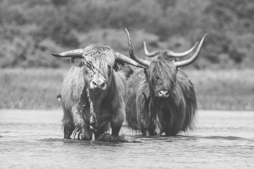 Twee Schotse Hooglander koeien in het water van Anne Zwagers