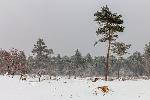 Pine Trees In The Snow van
