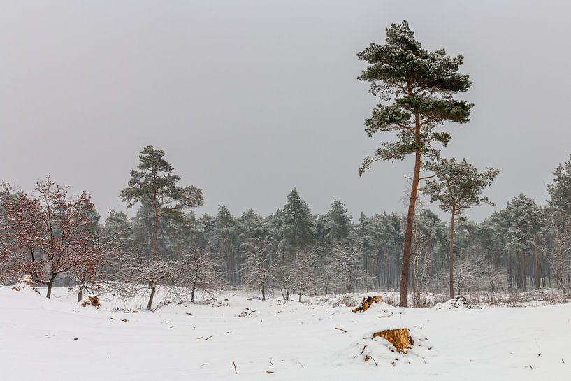 Pine Trees In The Snow van William Mevissen