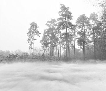 Kiefer in den Wolken von Corinne Welp