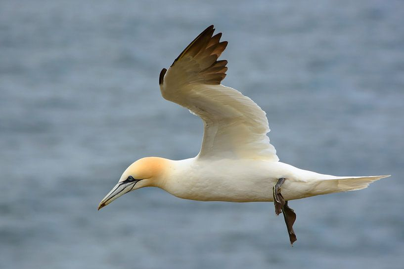 Northern Gannet flying above the sea van Gisela Scheffbuch