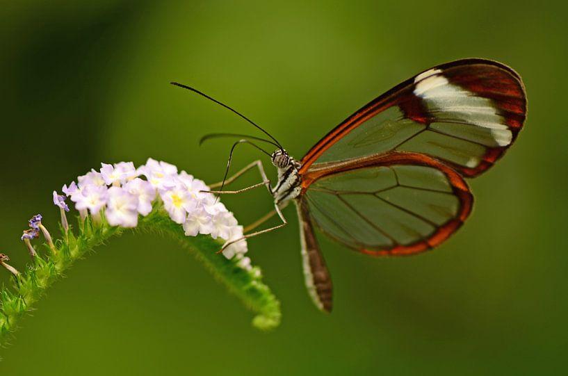 Doorzichtige vlinder op bloem van Rene Mensen