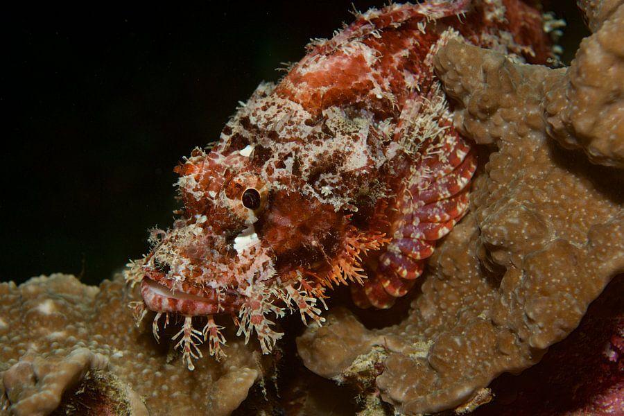 Schorpioenvis verstopt op een koraalrif