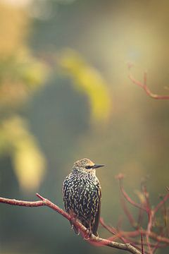 lijsterbes (vogel) op tak IV